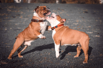 Blurred motion of English bulldog couples outdoor,selective focus