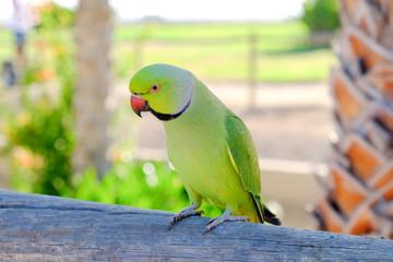 Ring-necked parakeet on Fuerteventura, Spain.