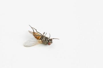 Dead housefly on white