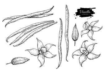 Vanilla flower and bean stick vector drawing set. Hand drawn sketch food