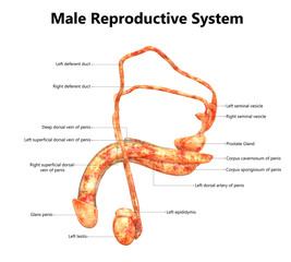 Male Reproductive System Anatomy (Detailed Labels) Lateral View