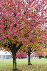 Pink fall trees