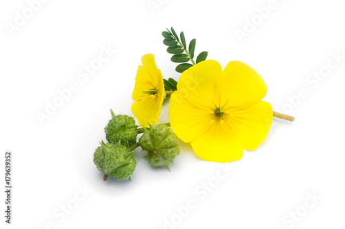 The yellow flower of devils thorn stock photo and royalty free the yellow flower of devils thorn mightylinksfo