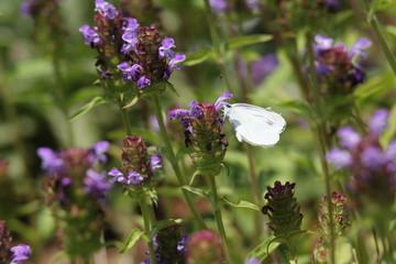 ラベンダーと蝶
