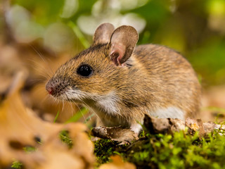 yellow necked mouse in habitat