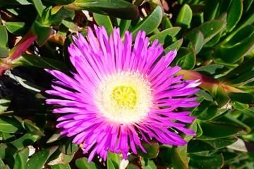Pretty pink beach daisy ice plant in full bloom, Malta.
