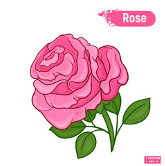 Blossoming pink rose flower
