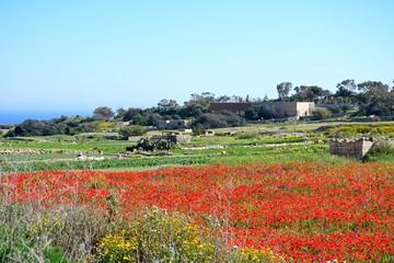 Poppy field and farmland near Dingli Cliffs, Malta.