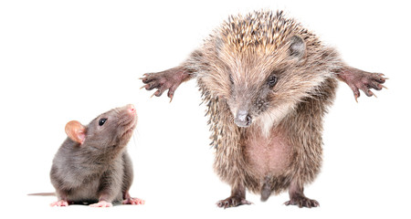 Curious gray rat and funny hedgehog, standing on hind legs, isolated on white background