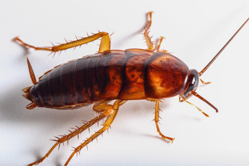 Cockroach brown on white background