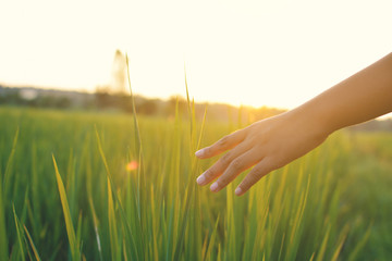 Young hand touch green rice on field during sunset ,nature and fresh air