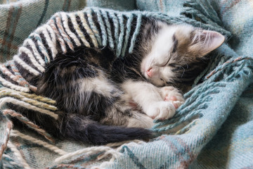 closeup of tabby kitten sleeping under wool blanket