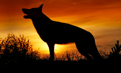 Silhouette of a wolf, a dog on a sunset background