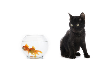 Domestic black cat looks at goldfishes in fishbowl isolated on white background.