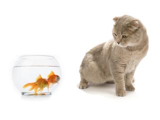 Scottish Fold Looking at Goldfish Isolated
