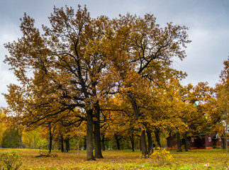 Cloudy autumn day in park with oak trees, yellow foliage and wooden chirch in background
