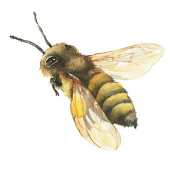 Hand drawn illustration bee wild insect.  Closeup of a western honey bee or European honey bee (Apis mellifera). Watercolor hand  painting illustration, isolated on white background.