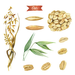 Oat plant, seeds and  flakes watercolor illustration