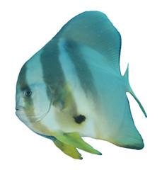 Fish isolated. Circular Spadefish (Batfish) on white background
