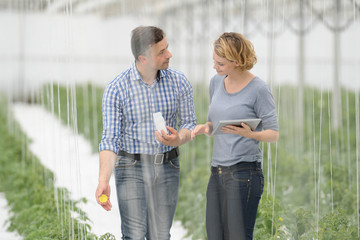 Farmers doing treatments on the plants in the greenhouse with a digital tablet