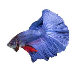 closeup background animal  aquarium fighting betta fish,Blue color