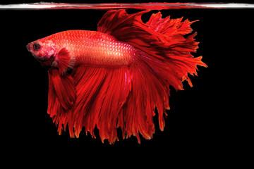 closeup background animal  aquarium fighting betta fish