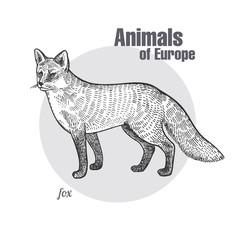 Vintage engraving of animal fox.