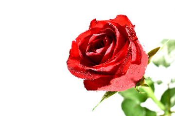 Rose stock images. Red rose on a white background