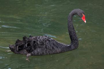 Photo sur Toile Cygne Black swan (Cygnus atratus).