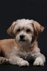 Portrait eines kleinen Hundes im Studio