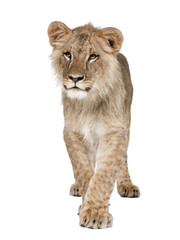 Portrait of young lion cub, Panthera leo, 8 months old, walking against white background, studio shot