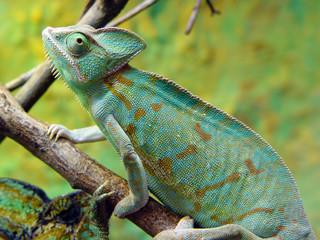Fototapeten Chamaleon zmiana barwy