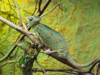 Fotorollo Chamaleon chameleon camouflage