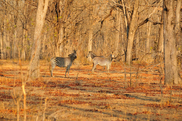 Zebra in dry forest