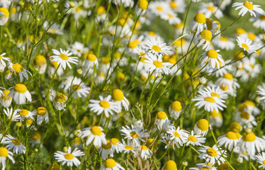 wild chamomiles on the field close up