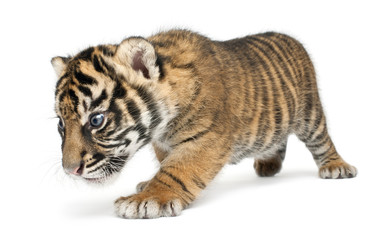 Sumatran Tiger cub, Panthera tigris sumatrae, 3 weeks old, walking in front of white background