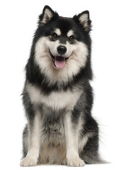 Finnish Lapphund, 1 year old, sitting in front of white background