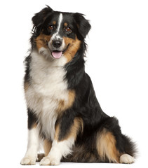 Miniature Australian Shepherd, 2 years old, sitting in front of white background