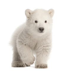 Foto op Plexiglas Ijsbeer Polar bear cub, Ursus maritimus, 3 months old, walking against white background