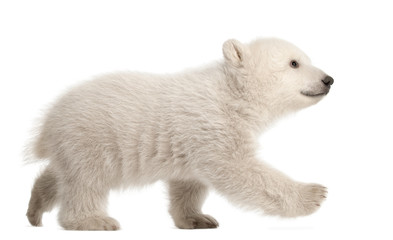 Tuinposter Ijsbeer Polar bear cub, Ursus maritimus, 3 months old, walking against white background