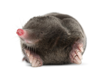 Wall Mural - European Mole, Talpa europaea, against white background