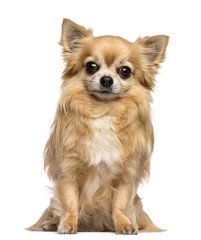 Chihuahua, 10 years old, sitting and looking at camera against white background