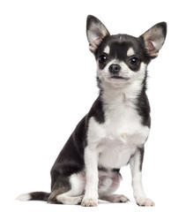 Chihuahua, 7 months old, sitting and looking away against white background