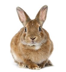 Rabbit lying against white background