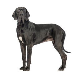 Side view of a Great Dane, 2 years old, looking at the camera in front of white background
