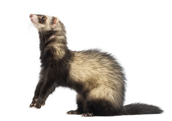 Ferret (9 months old) standing on hind legs and looking up