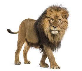 Poster Leeuw Side view of a Lion walking, looking at the camera, Panthera Leo, 10 years old, isolated on white
