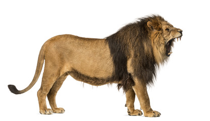Foto auf Leinwand Löwe Side view of a Lion roaring, standing, Panthera Leo, 10 years old, isolated on white