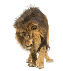 Lion standing, looking down, Panthera Leo, 10 years old, isolate