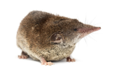 White-toothed shrew, isolated on white Wall mural